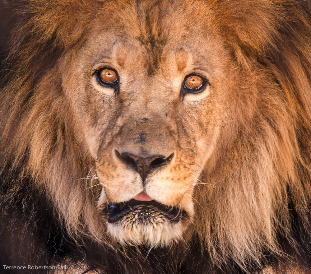 Leo, the face of power and awe, Shambala Preserve, by Terrence Robertson-Fall