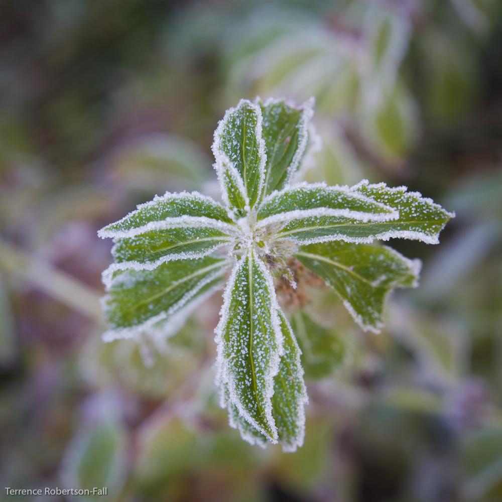 Frosty mint, Yosemite National Park by Terrence Robertson-Fall
