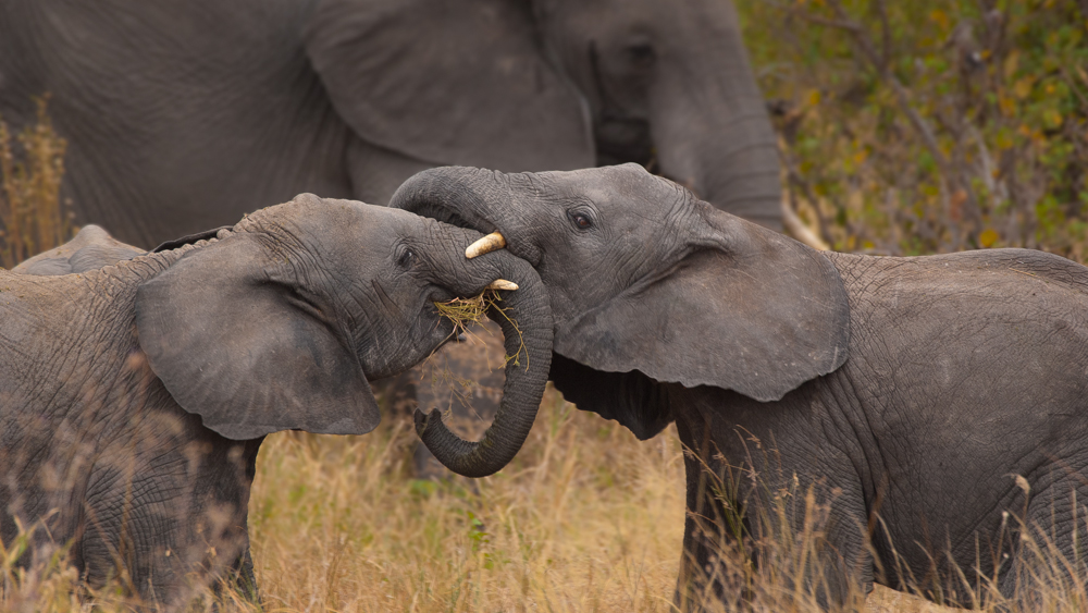 Wrestlemania.  Photograph by Terrence Robertson-Fall.   A couple of young elephants in the Serengeti playfully wrestle while mom looks on.