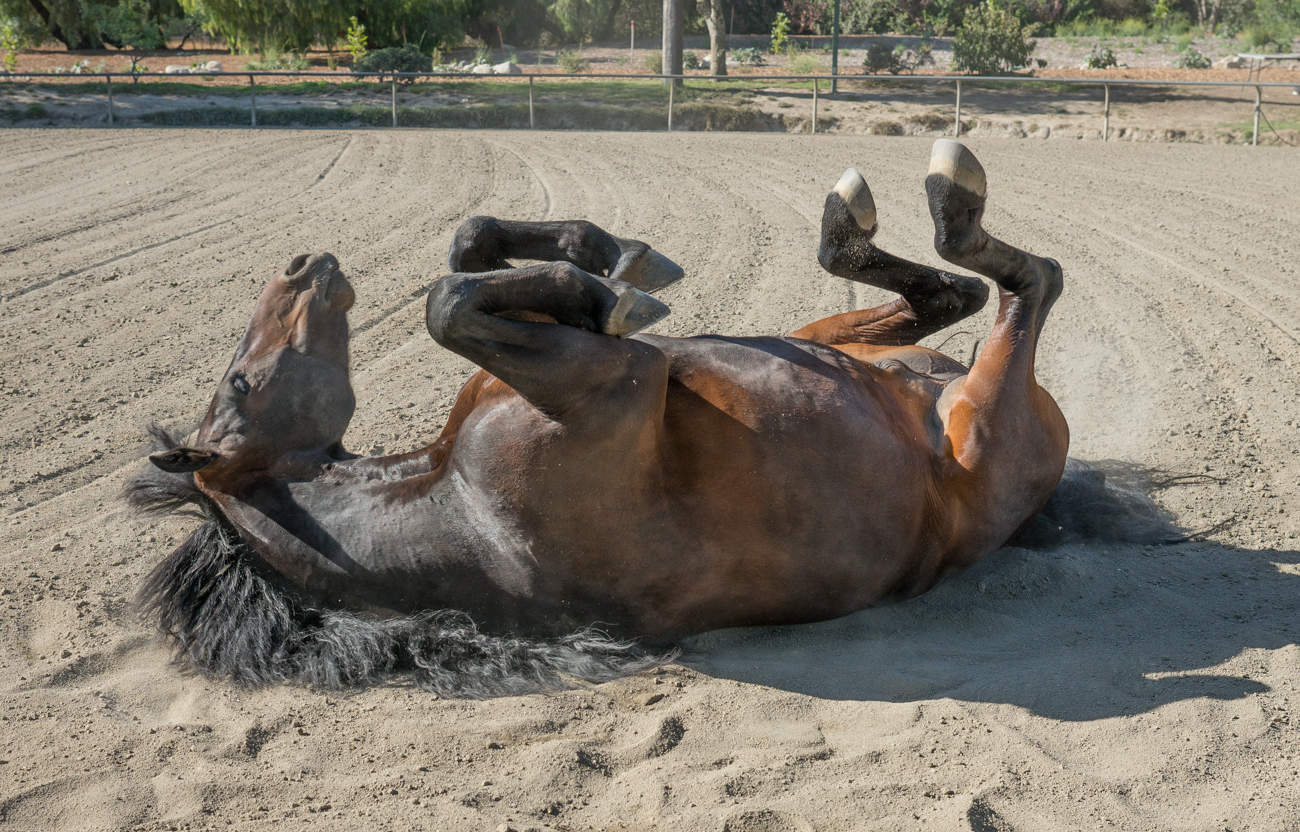 DaVinci rolls in the dirt. This is the first thing horses do after being washed and brushed.