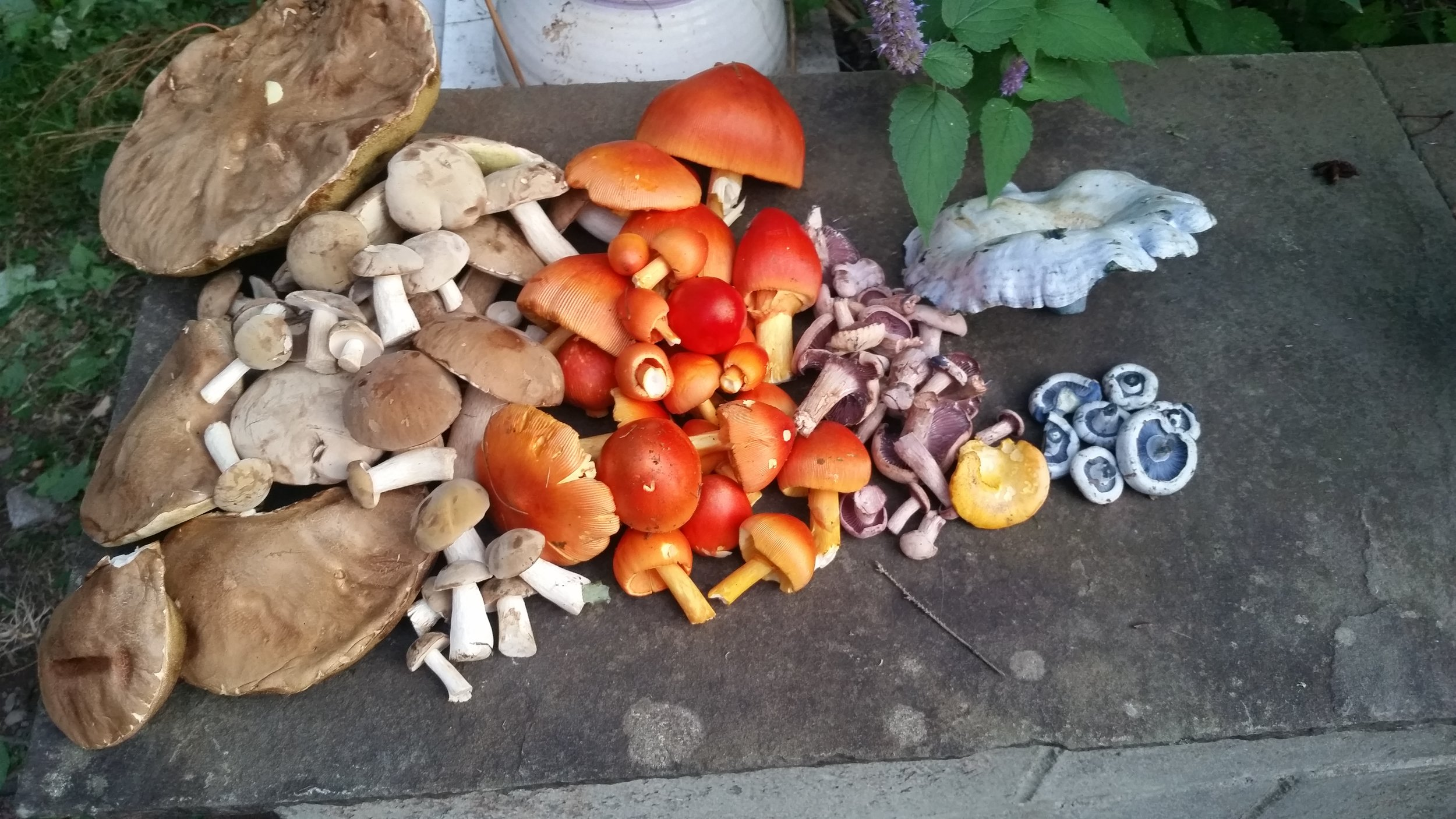 A rainbow of edible wild mushrooms. From left to right, porcini, Amanita jacksonii, Laccaria ochropurpurea, a lone chanterelle, and indigo milk caps