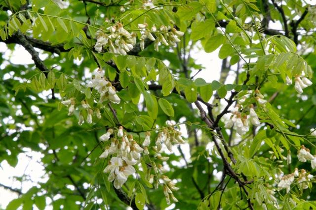 locust blossoms.jpg