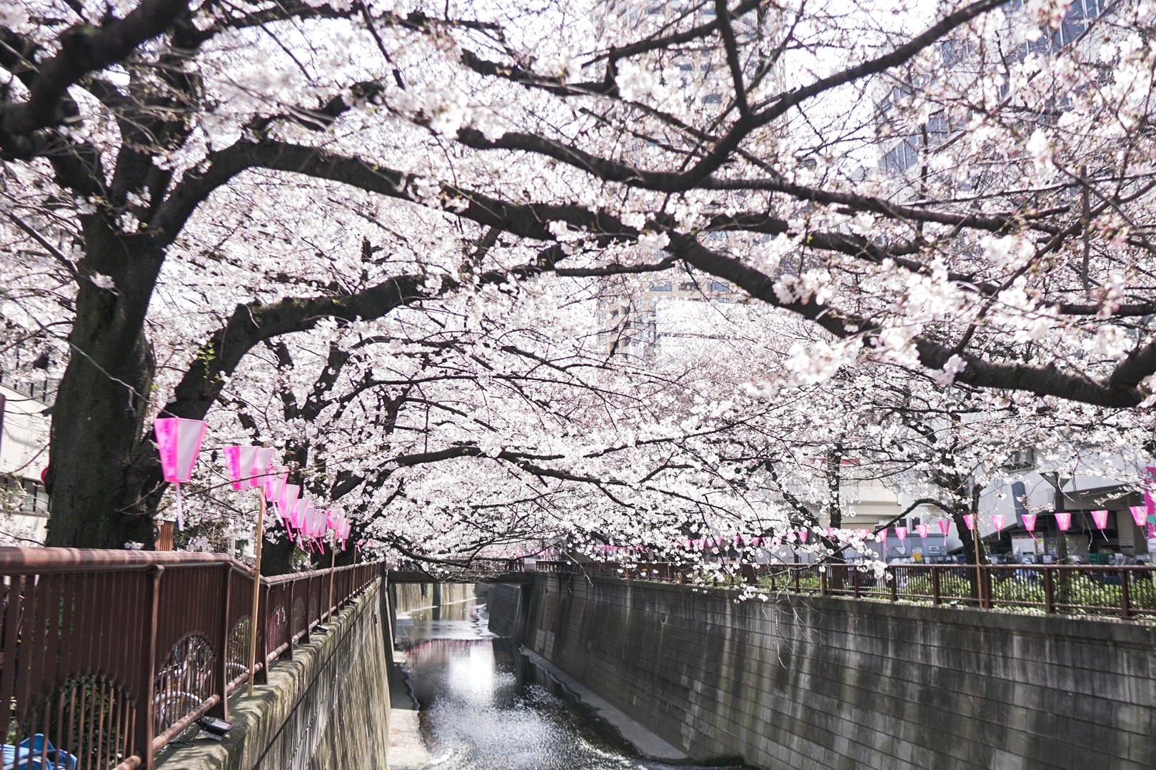 cherry blossoms japan meguro river guide