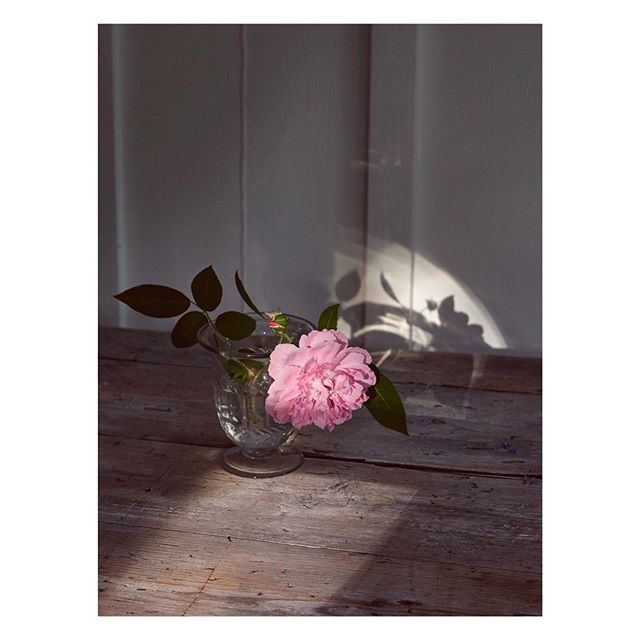 A Summer Rose // @robbiehoney from our shoot way back! Such incredible light at this location @twighutchinson #stilllife #botanical #robbiehoney #florist #location #light stilllifephotographer
