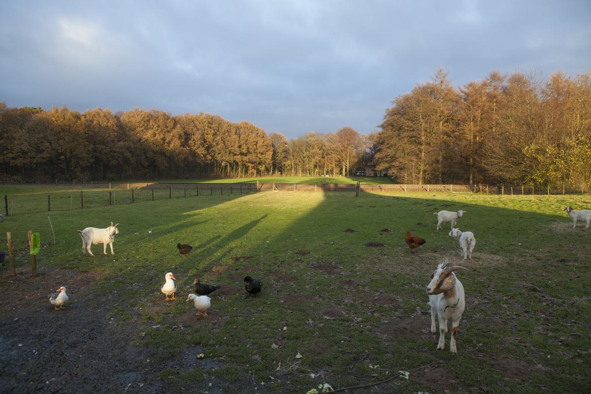 The farm animals. Dutch light really is crazy.