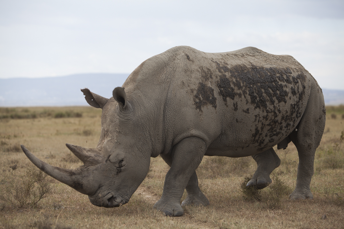 Endangered white rhino.