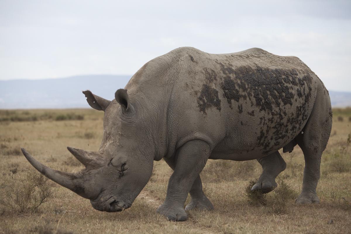 Endangered white rhino.