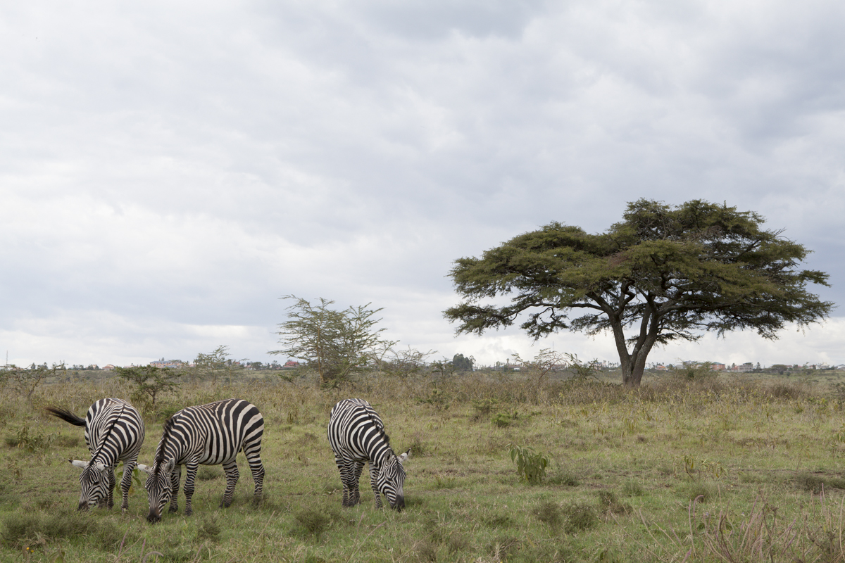 Your typical African landscape including zebras and a acacia tree.