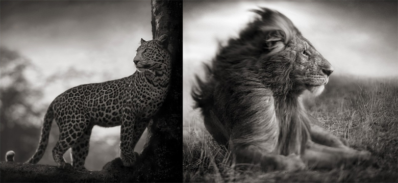 (left) Leopard in crook of tree, Nakuru, 2007-(right) Lion Before Storm, Mas Mara, 2006