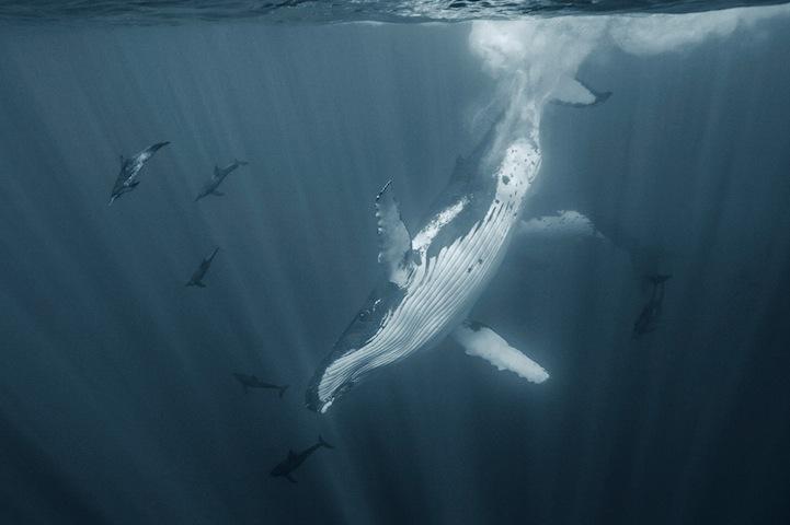 Humpback Whales by Darren Jew (4).jpg