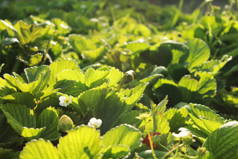 Συγκομιδή φράουλας, φύλλα φραουλιάς