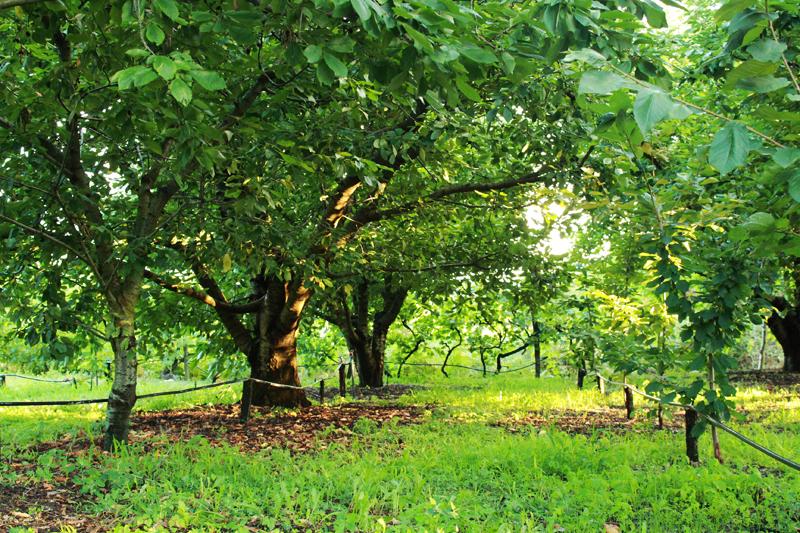 χωράφια με κερασιές, Συγκομιδή φράουλας, φραμπουάζ, βατόμουρων και άλλων μούρων