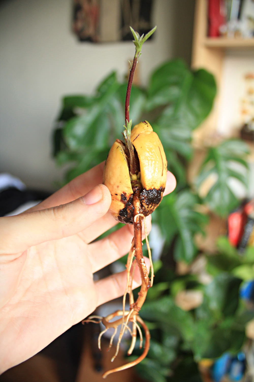 How to germinate an avocado seed in less than a month!   from IN WHIRL OF INSPIRATION