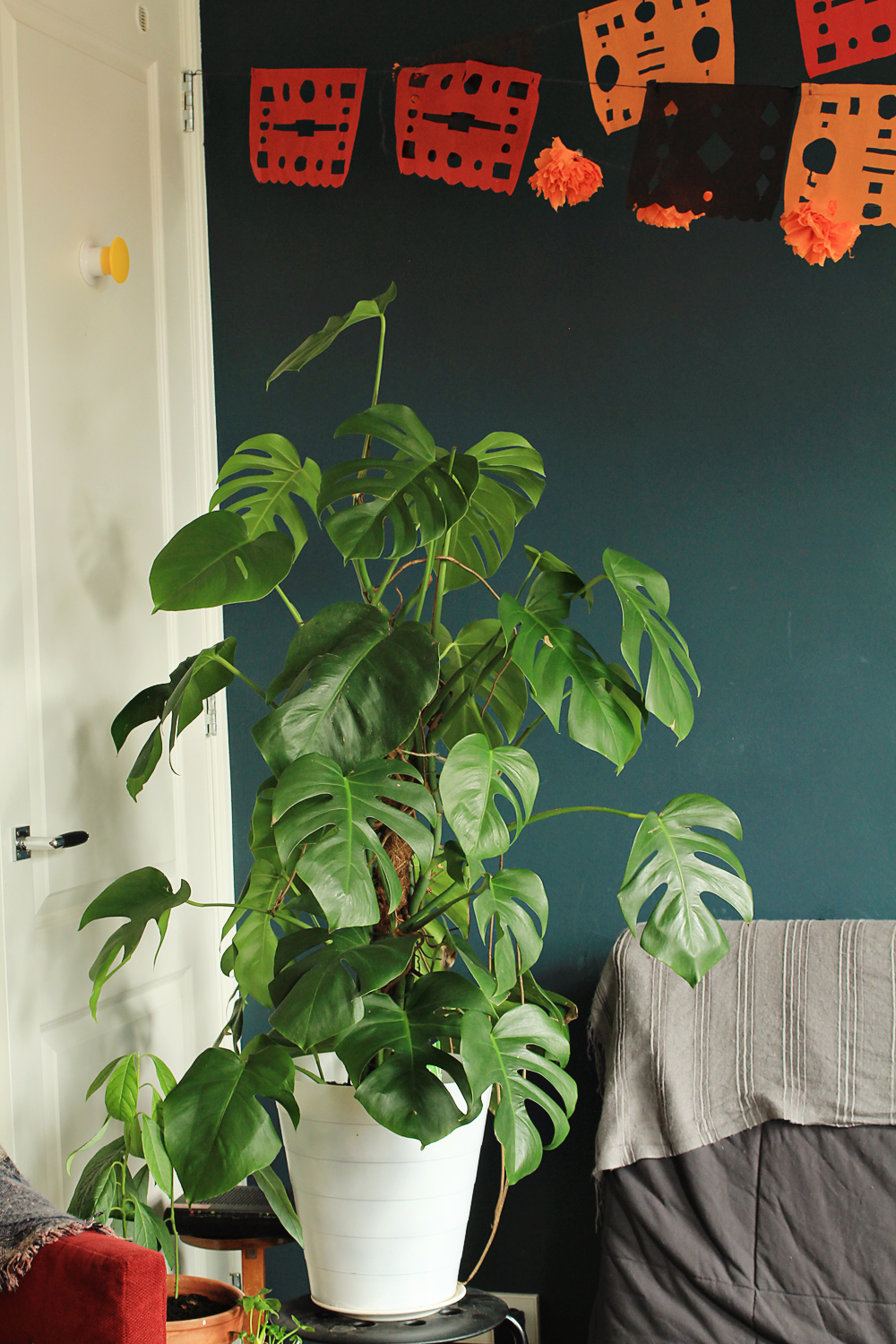 Monstera Deliciosa: tips for caring, growing and propagating