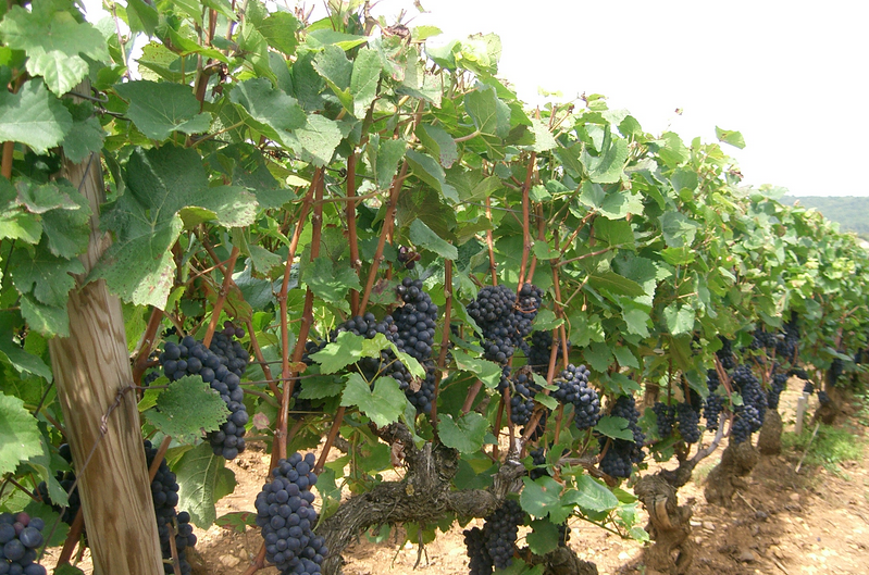 Pinot Noir Grapes Growing on the Vine