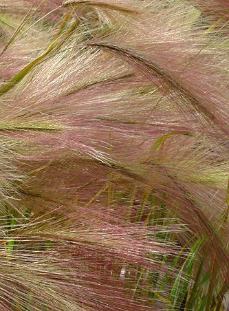 hordeum-jubatum-pink-barley-plant.jpg