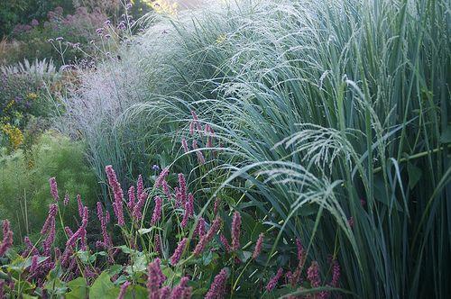 panicum-virgatum-northwind-naturalistic-planting.jpg