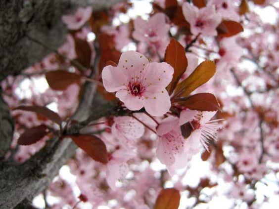 prunus-pissardi-cherry-tree-blossom-sakura.jpg