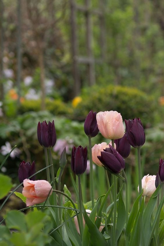 tulip-apricot-beauty-havran-spring-planting.jpg