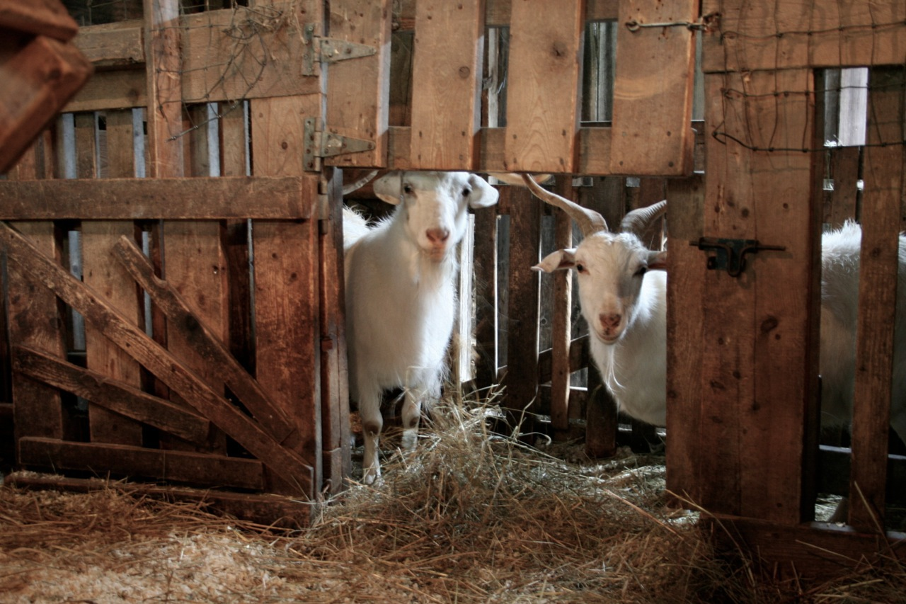 These goats were a little shy at first.......but nonetheless curious