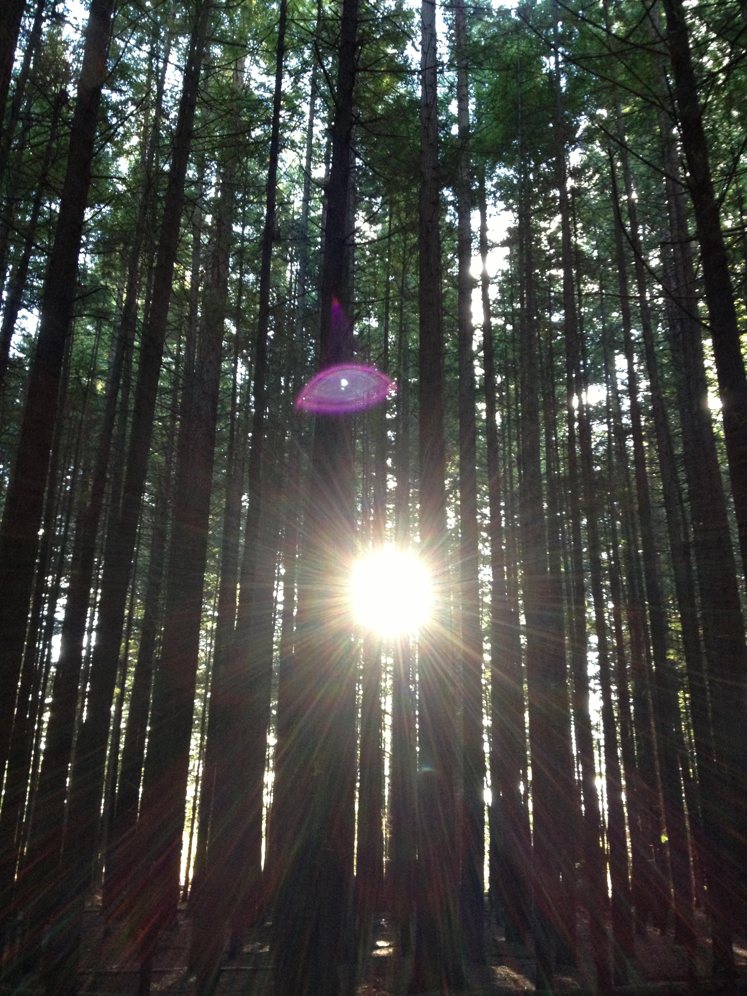 Sunlight through Rotorua Redwoods