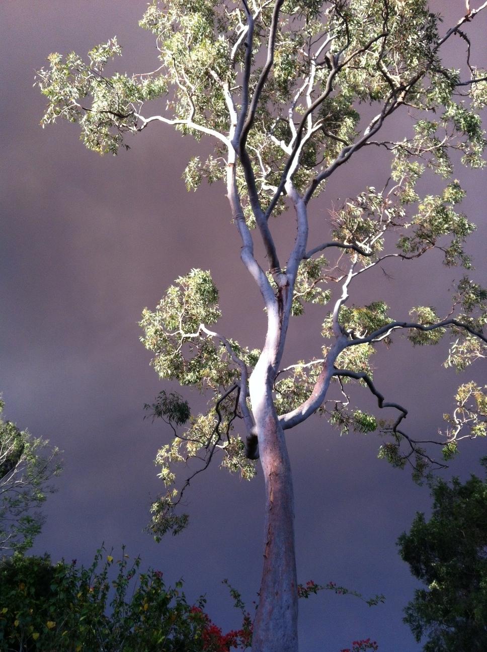 Lisa bush fire tree.JPG