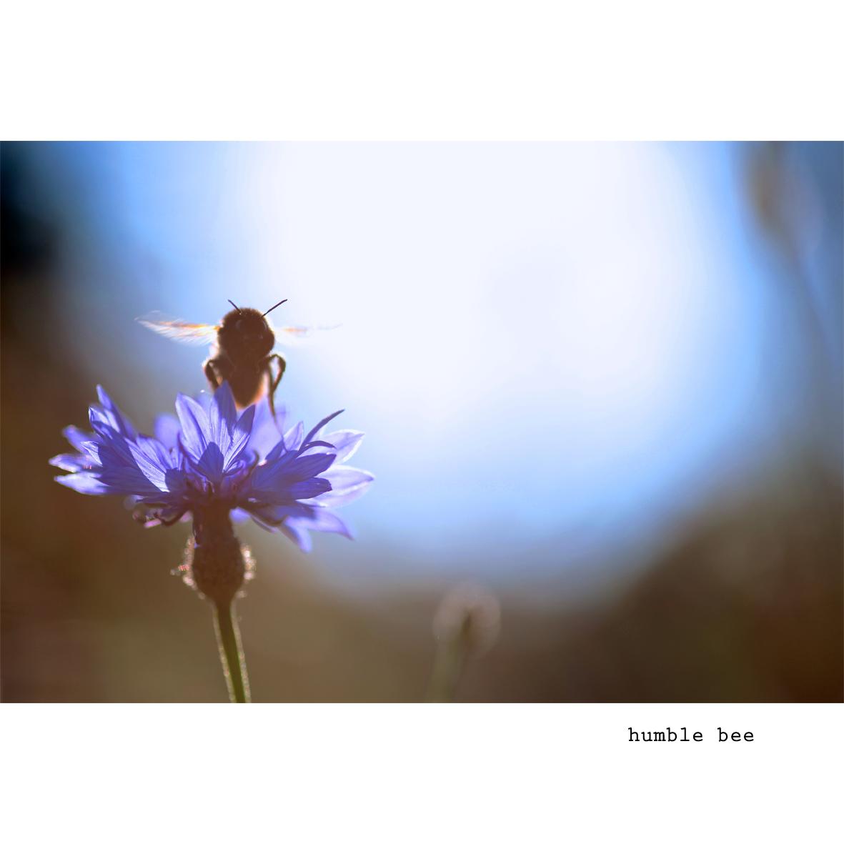 humble bee.jpg