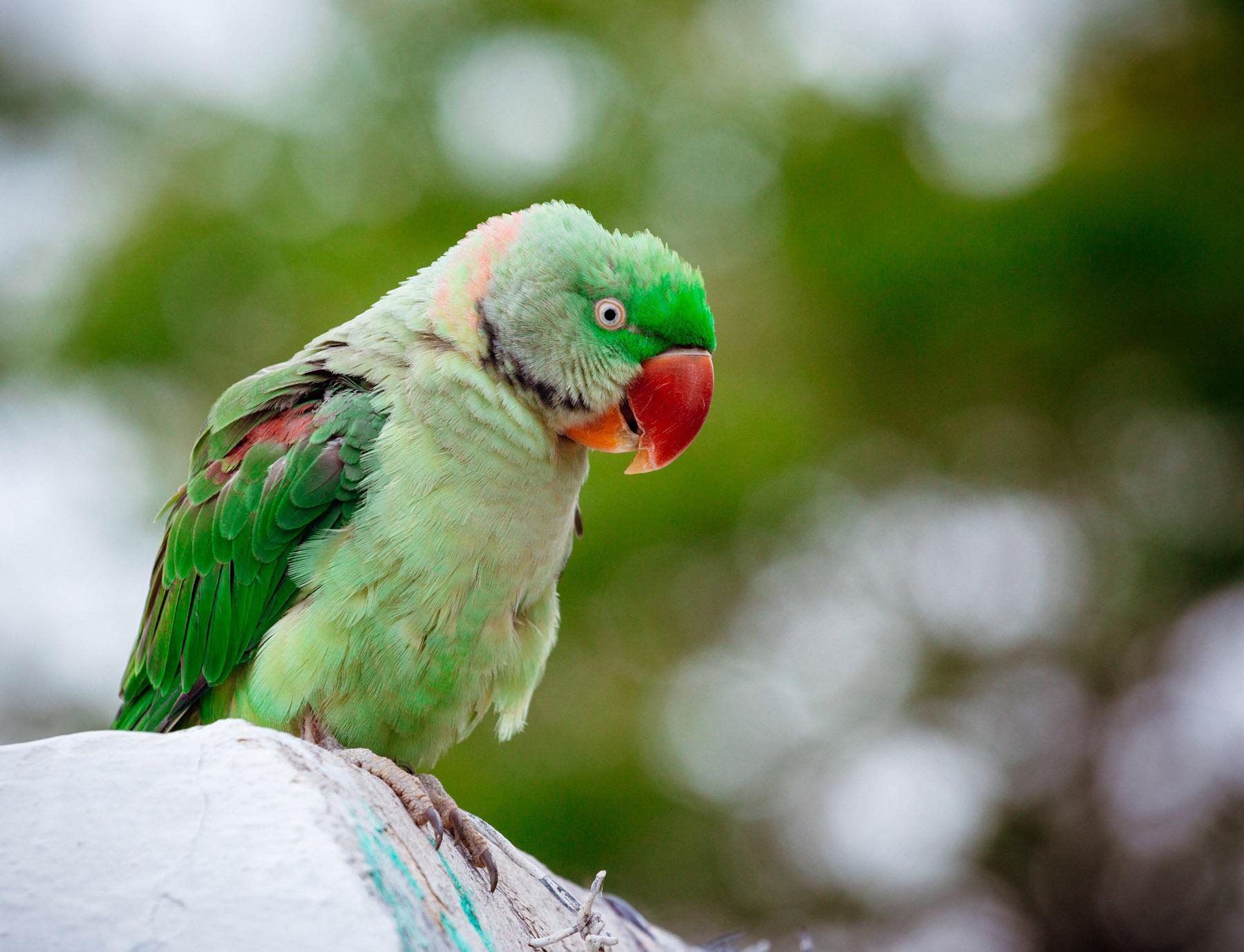 A wild parrot