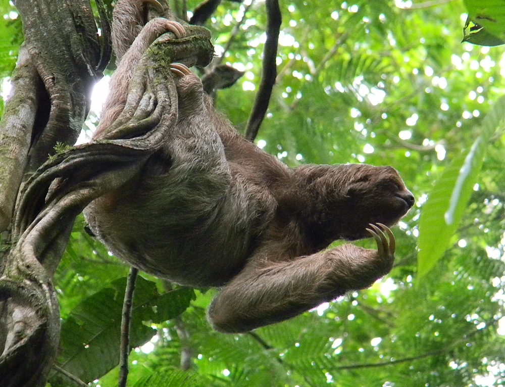 Three-toed.Sloth.JPG