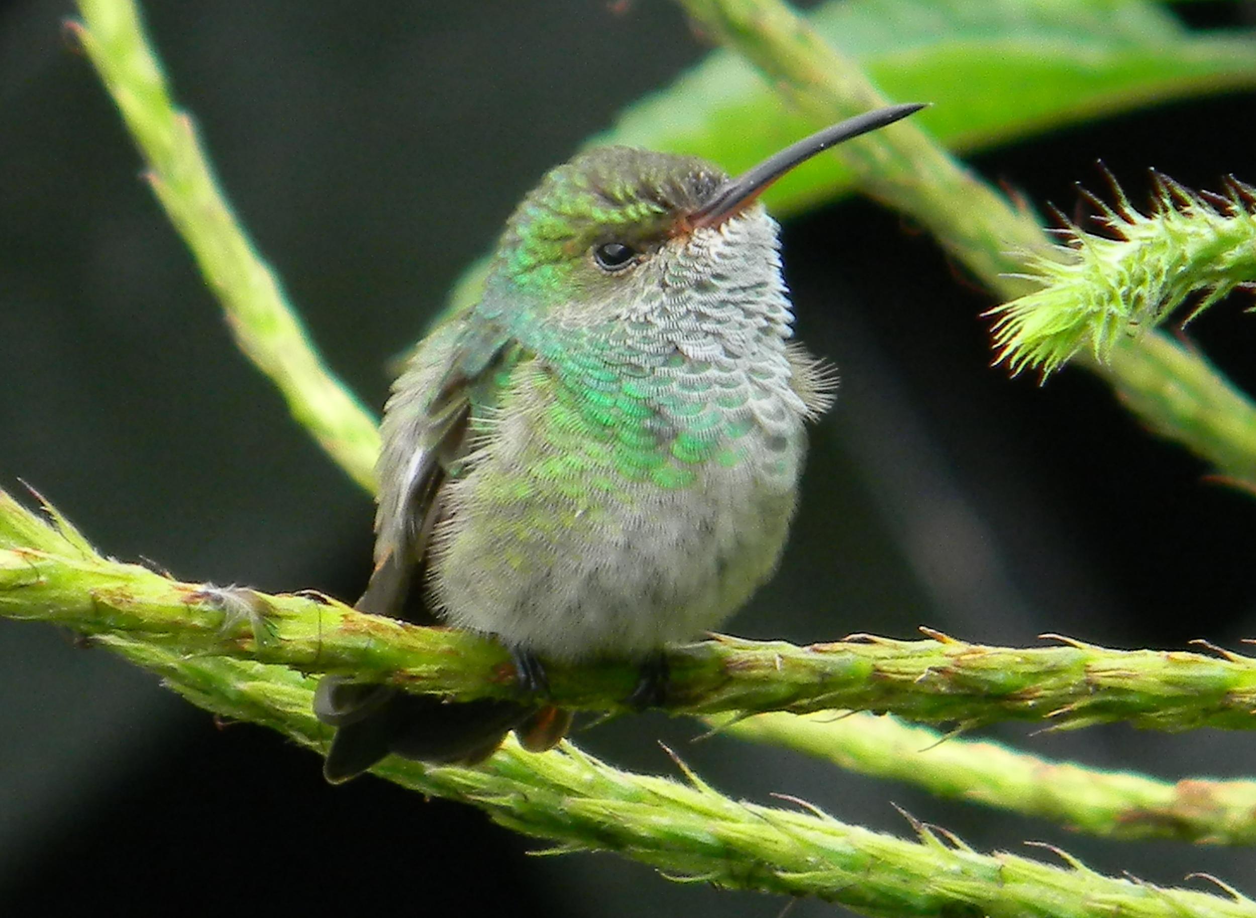 Rufous-tailed.Hummingbird.female.Observatory.7julio2013.JNorris.JPG