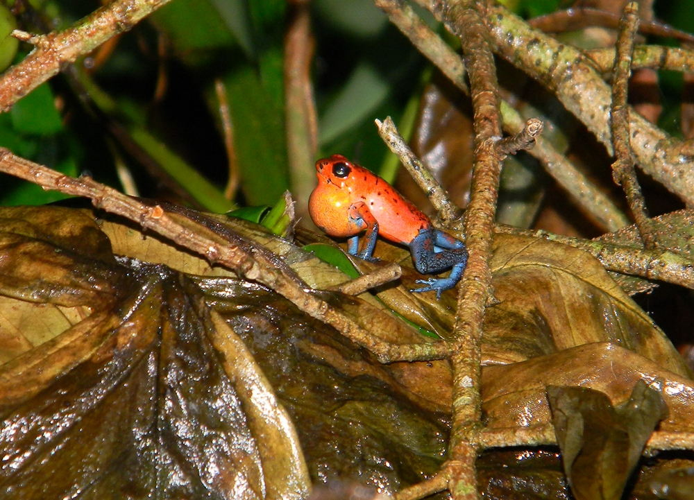 Oophaga.pumilio.(male).SuenoAzul.14oct12.(recording-too).JPG
