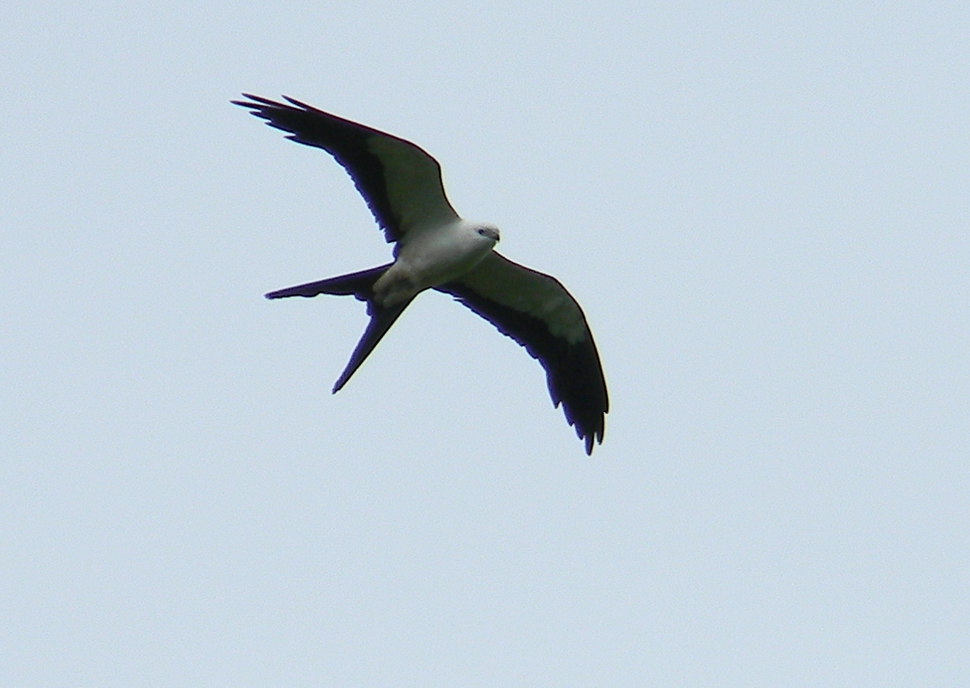 Swallow-tailed.Kite.LosLagos.9julio2013.JNorris.JPG