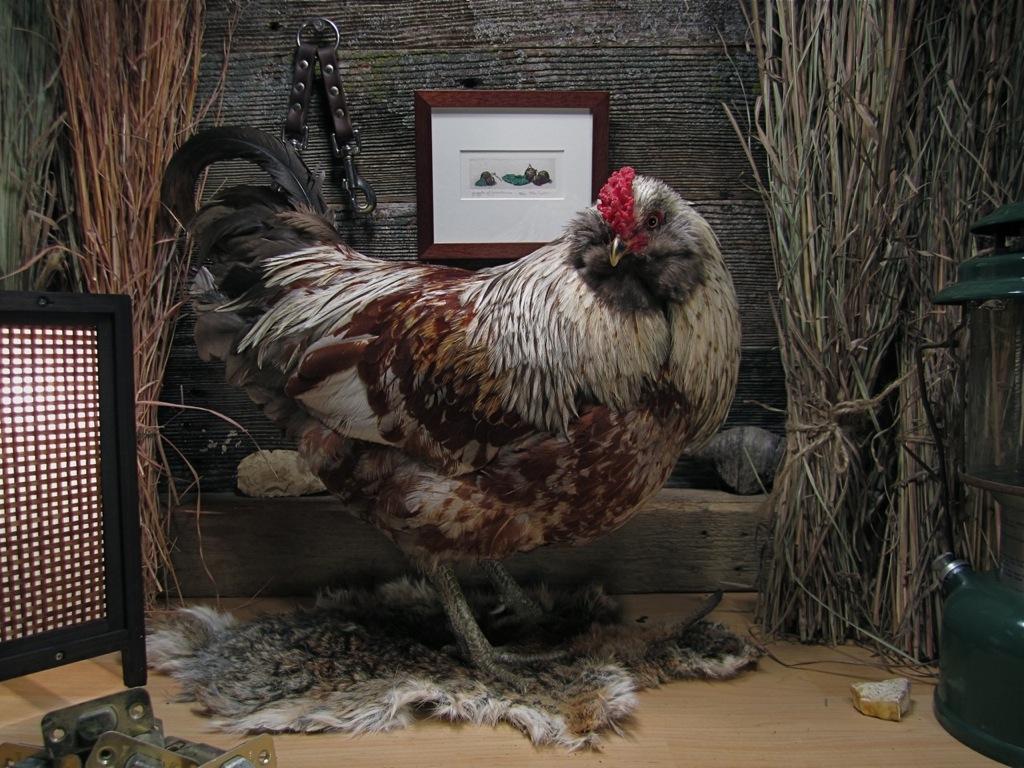 Bad Rooster   Matthew Hemminghaus 2013