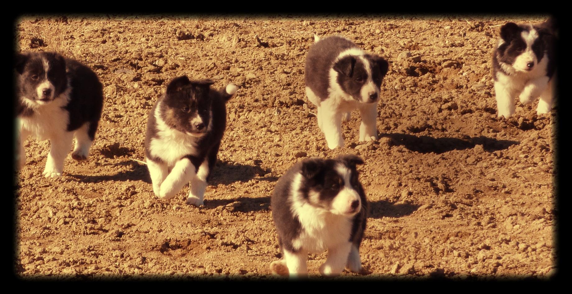 Border Collie Puppies: IMP LAD (Debi Fesler)  PAINT (Jo Woodbury)  DOT (Randy & Janet Lester)  ROY (Felicia K. Whalen)  MOLLY (Jo Woodbury)  TESS (Kennard Bisett)  BOB (R.W. Glasgow)  L-V BOB (Russ & Diane Baquet)  JETTA (Bryan Baquet)  BWLCH HEMP (Mrs. C.S. Rundle)  MEG (Mark Ramsden)  NAN (Terry Mendicino)  MCCALLUMS DEETS (Steve Miller)  MCCALLUMS FRECK (Wayne & Sherril Swaim)  MCCALLUMS SPLASH (Eddie Blazek)  MCCALLUMSBRUTE (Richard Wallrath)  MC JUNE (Wayne & Sherril Swaim)  MCCALLUMS BELLE (Tony McCallum)  MCCALLUM PONCHO (Woody & Judy Jackson)  MCCALLUMS LEVI (Woody & Judy Jackson)  MCCALLUMSMISSB (Bob Crouch)  MCCALLUMS M. RIP (Larry Griggs)  HOLLY (Woody & Judy Jackson)  SNOWHILL SADIE (Larry Griggs)  L-V SPOT (Bryan Baquet)  DIAMONDDOTLUCY (Greg Harris & Bryan Baquet)  MATT (Kimberly Dejanovich & Jo Woodbury)  L-V NIKKI (Clyde R. Baquet & Bryan Baquet)  MC STONEY (Gregory R. Harris & Wayne & Sherril Swaim)  MC-DANDY (Gregory R. Harris & Woody & Judy Jackson)