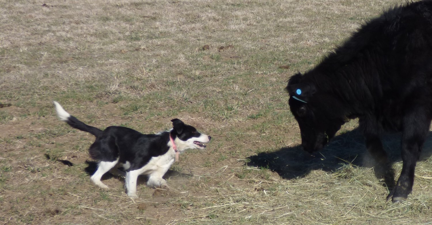 Working Border Collies For Sale