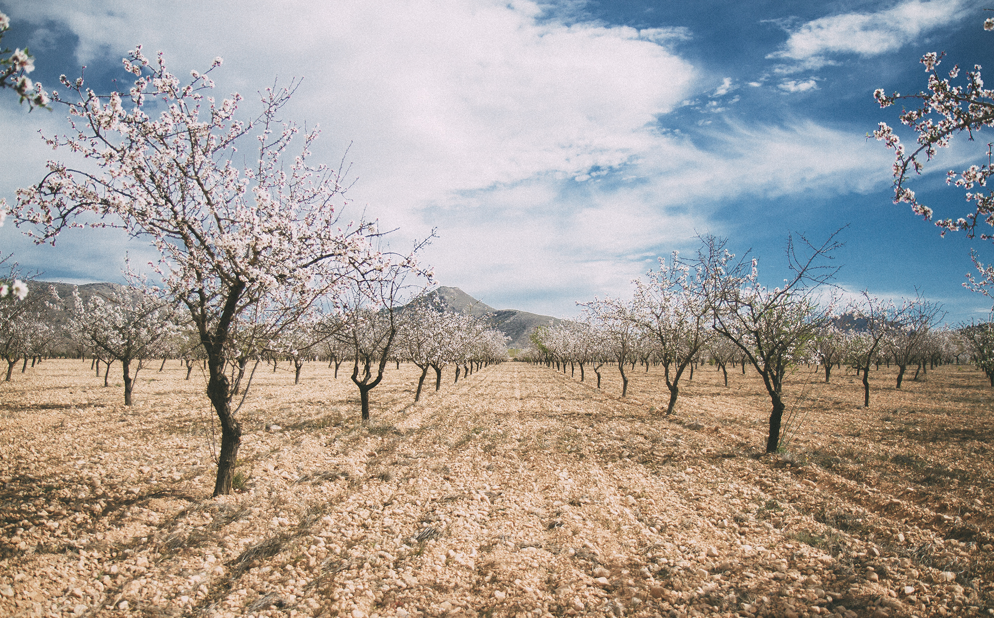 Organic Almond Orchards in Spain, 2016.
