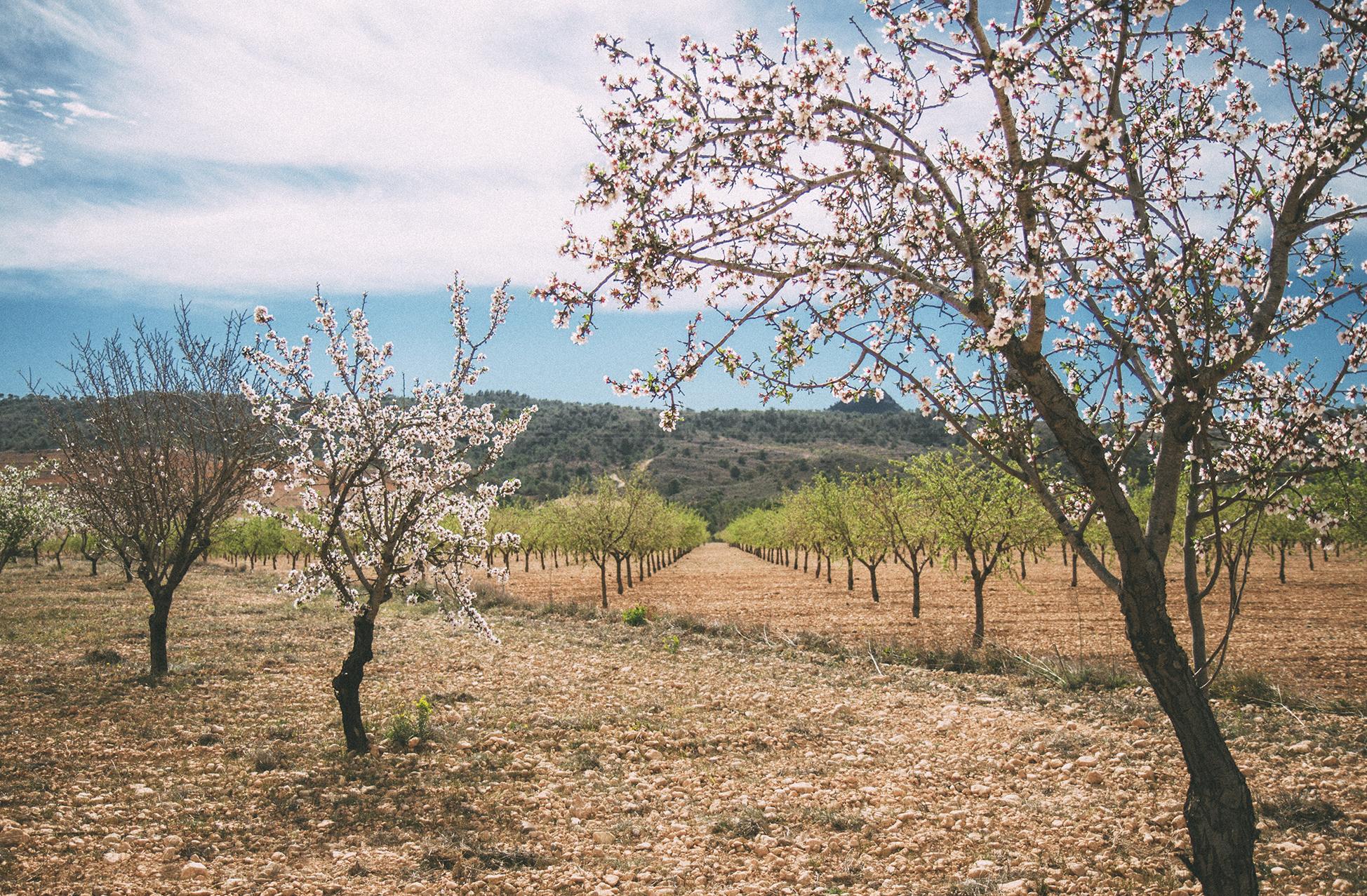 Divine Foods Almond Orchards II.jpg