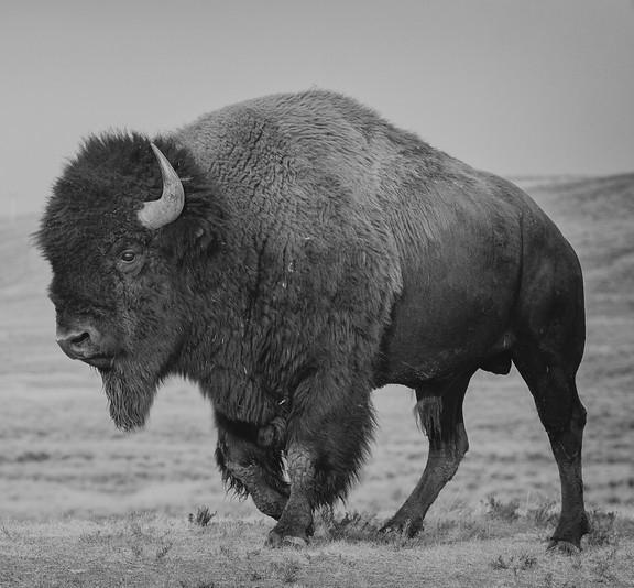bison edit.jpg