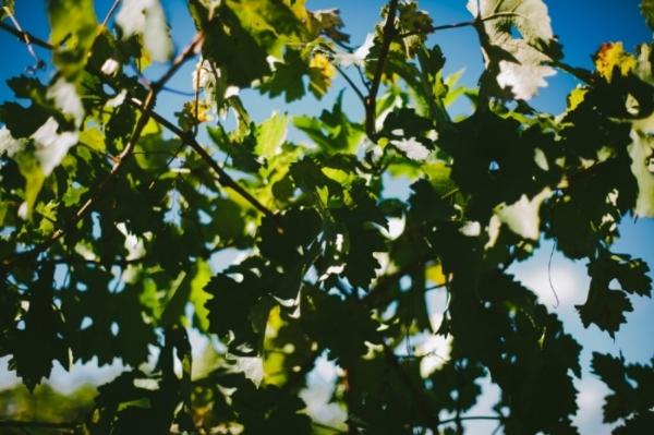 Santa Barbara Wine Tours :: Private Wine Tour :: Group Wine Tour :: Rooted Vine Tours :: Santa Barbara, Calirfornia