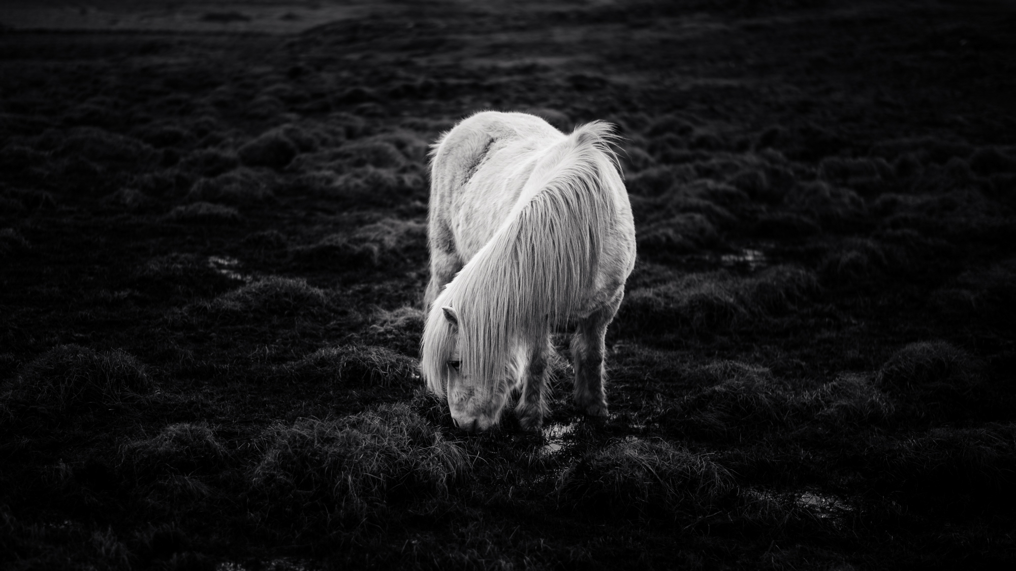 2. Sean Berry, Icelandic Pony.jpg