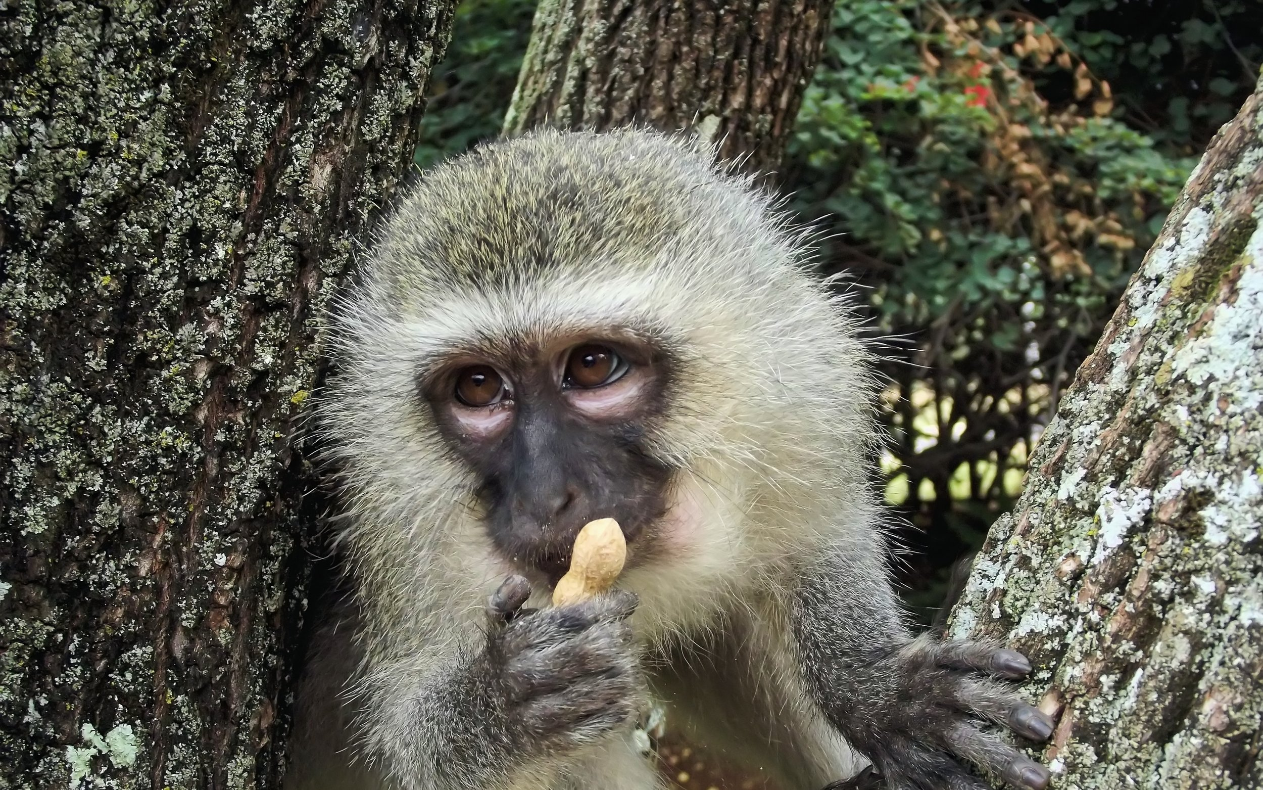 Spotted monkey monkey nut food x Wallpapers Craft
