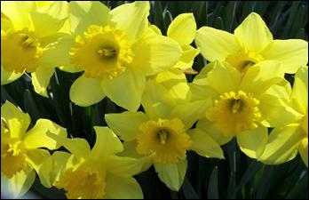 FOBG_daffodil.png