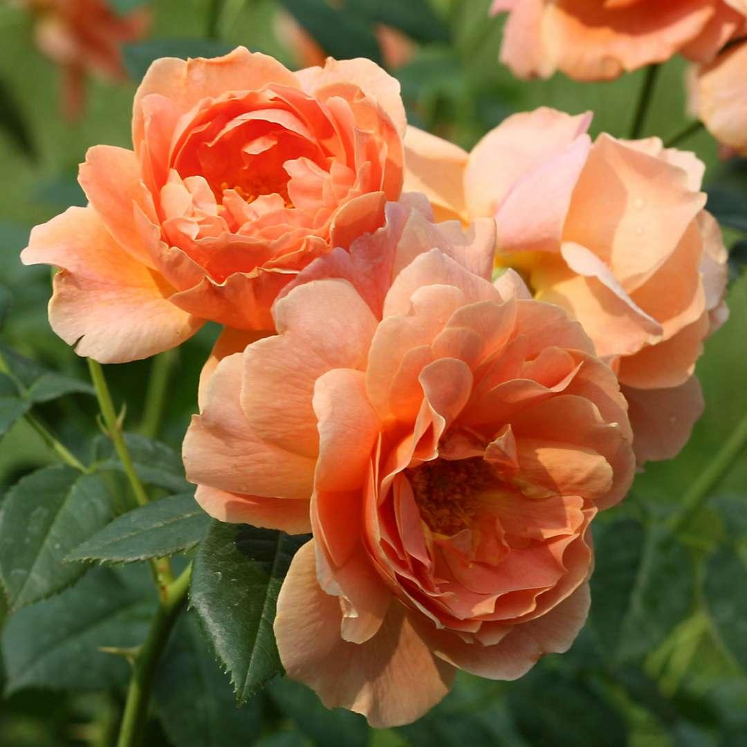 rosa 'at last'