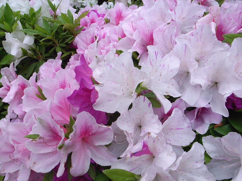 Azaleas_pink.jpg