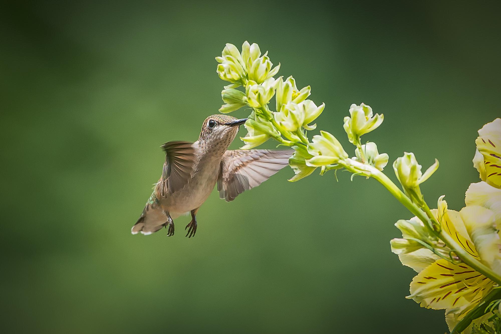 2013-08-27_Hummingbirds_Booker_0041-Final.jpg