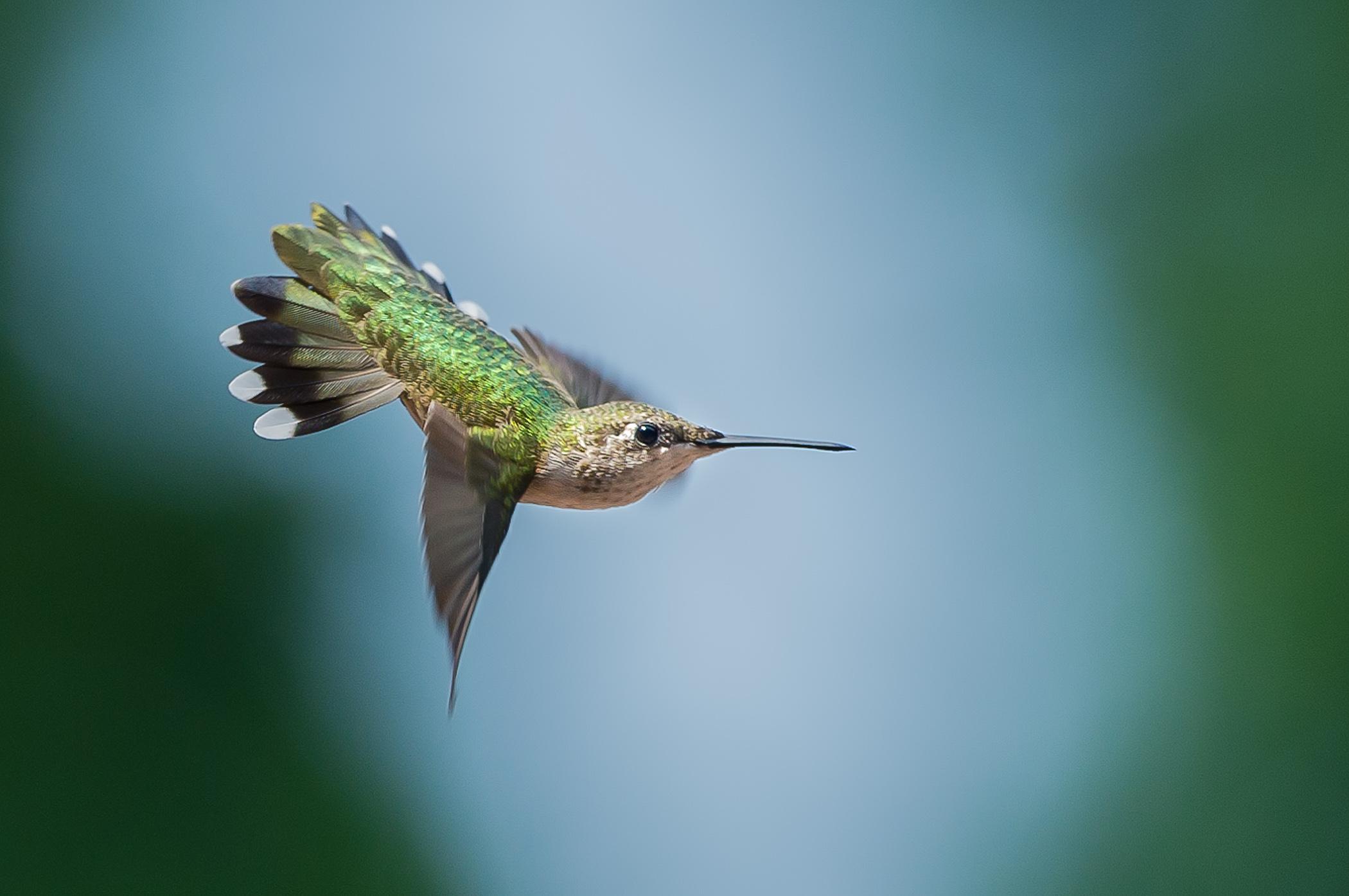 2014-08-05_Hummingbirds_Booker_0034-Edit-Edit.jpg