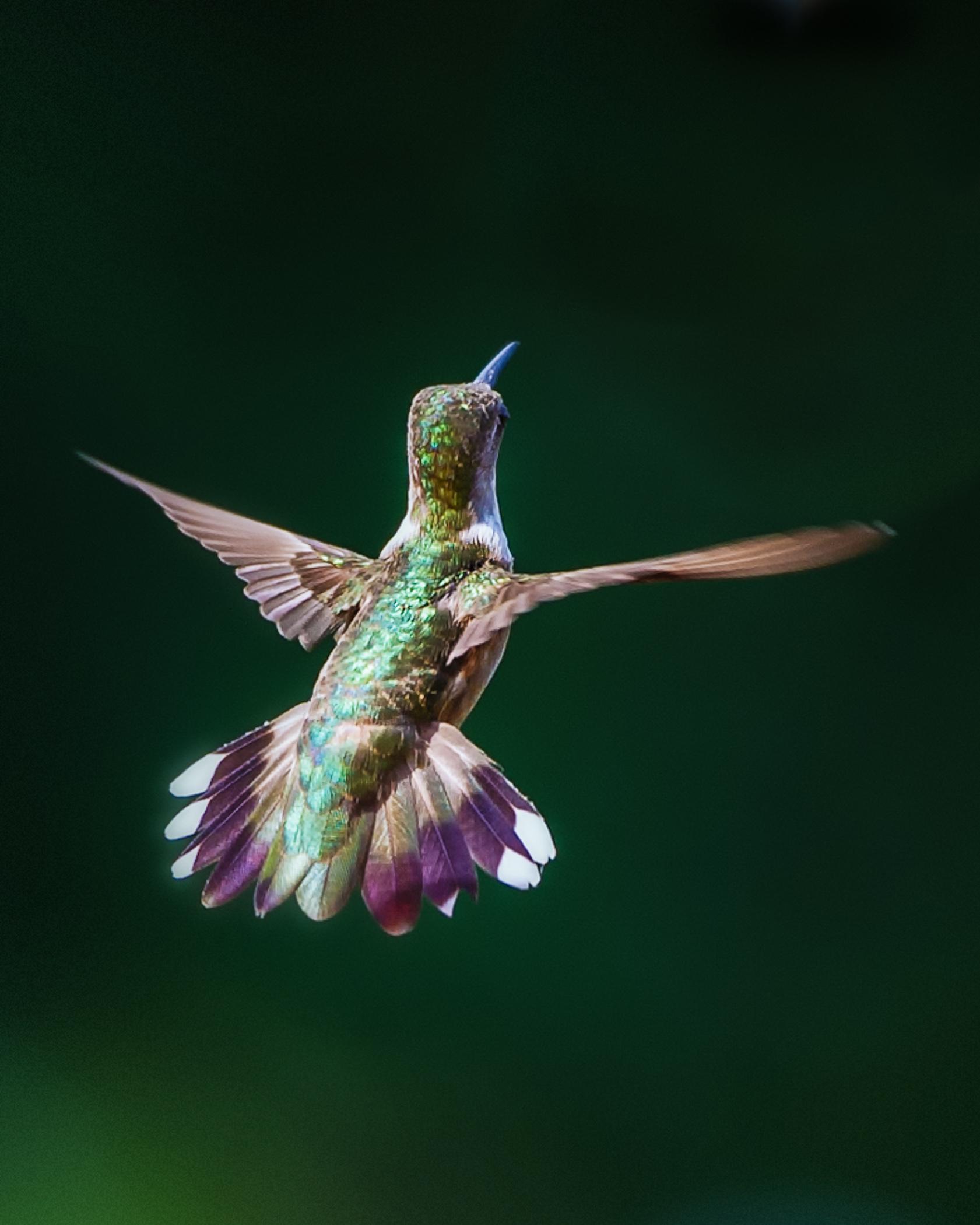 2014-08-05_Hummingbirds_Booker_0043-Edit-Edit-Edit.jpg