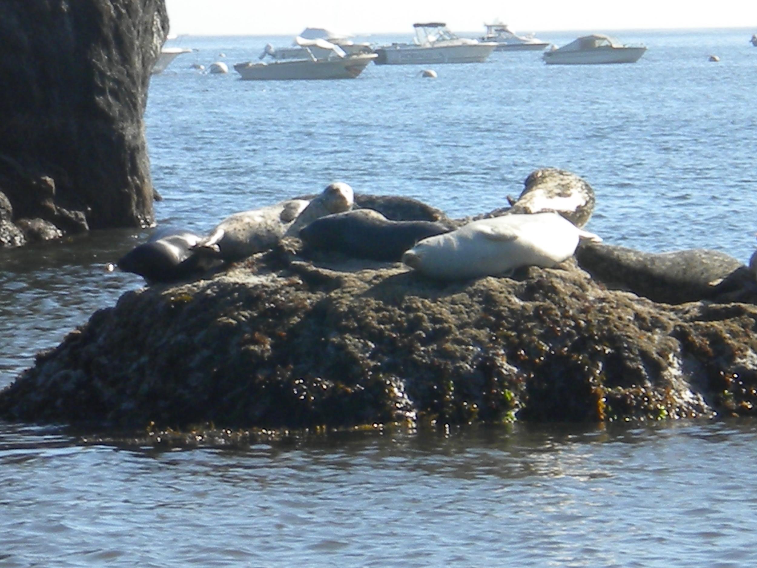 Lazy Seals - Humboldt County, CA
