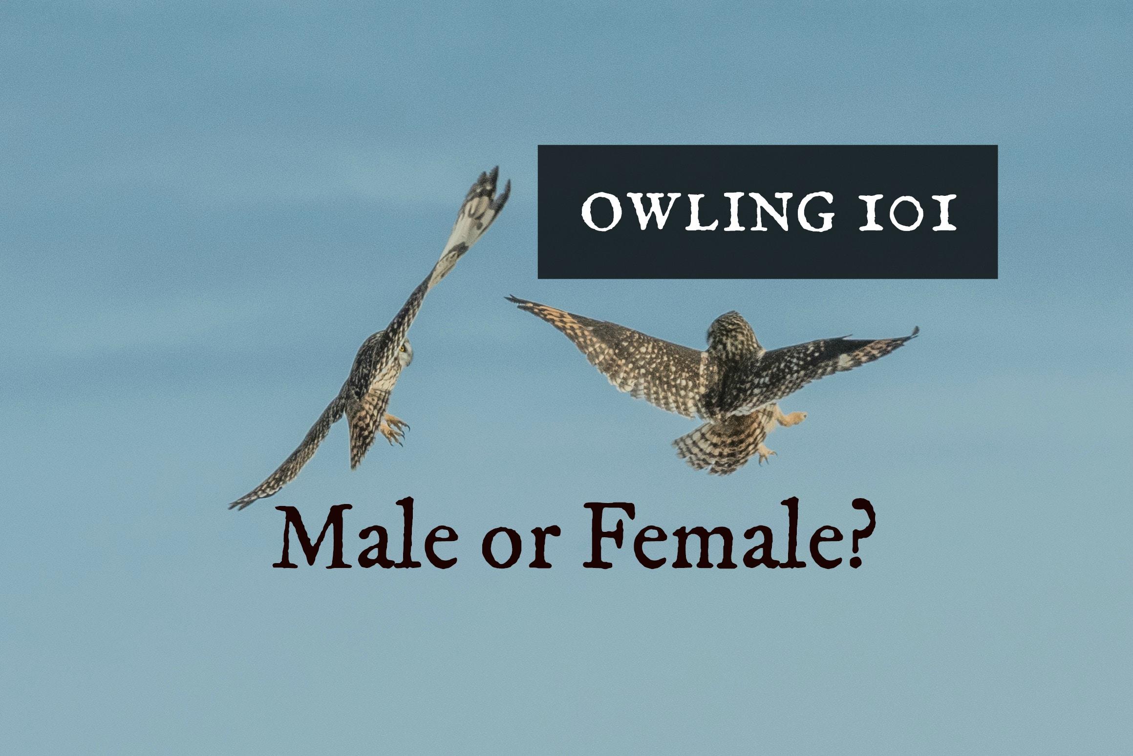 owling101maleorfemale.jpg