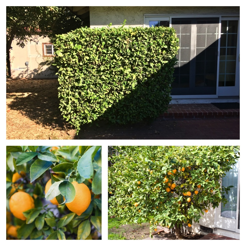 Becoming a lemon tree again.